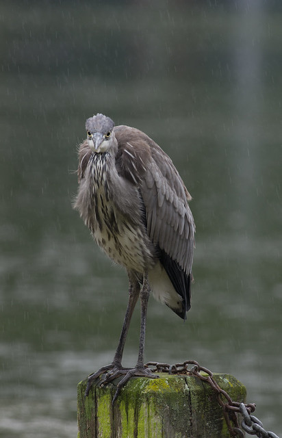 Grey heron in the rain 6
