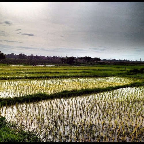 Rice planting season in Laos