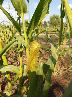 Drought Stressed Corn 009