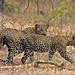 Leopards (Uditha Hettige)