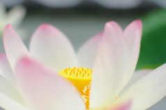 [Free Images] Flowers / Plants, Indian Lotus ID:201208120600
