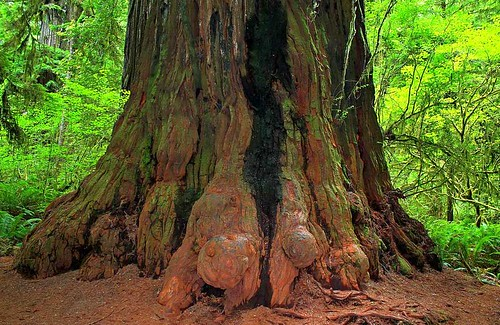 redwoodtree coastredwood sequoia