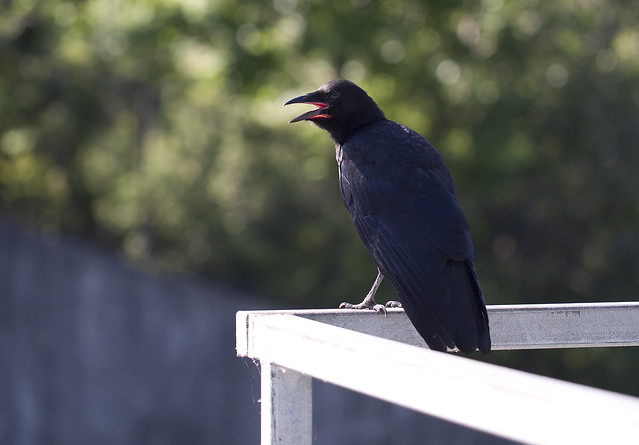 baby crow 6