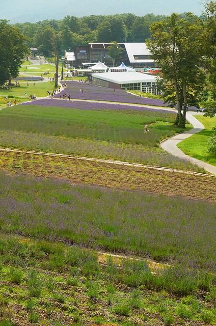 lavender gradation