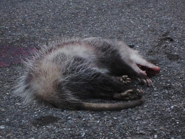 Opossum.  (San Francisco, 2012)