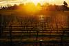 Vineyard, Yarra Valley