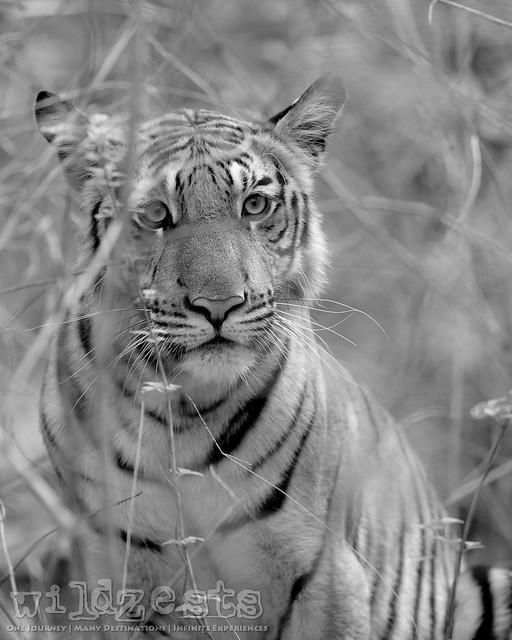 Tiger - Male (Cub)