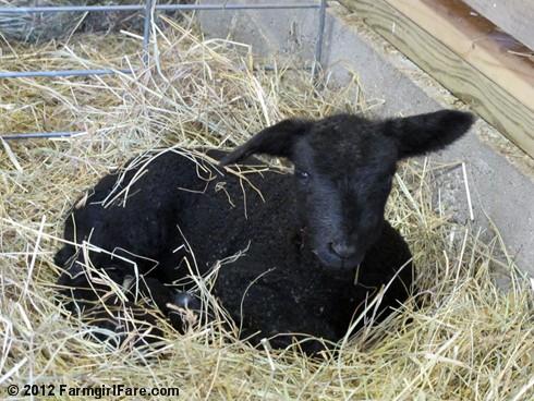 Random Lamb Snaps 19 - FarmgirlFare.com