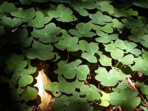 redwood-sorrel-dappled