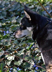 dog breed, animal, lapponian herder, dog, pet, mammal, australian cattle dog,
