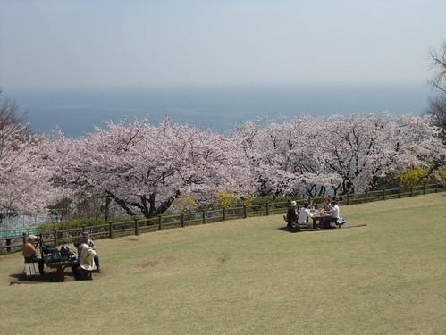 cherry blossom picnics