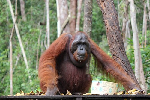 Popeye is one big Bornean boy