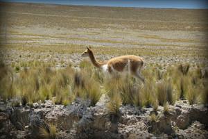 reserva-nacional-pampa-galeras-ayacucho1