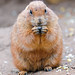 Cute eating prairie dog