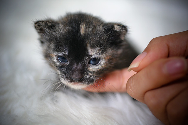 2 week old tortoiseshell kitten | cat & pet photography