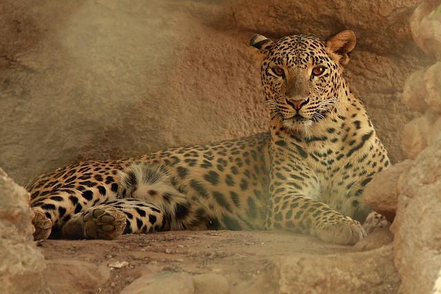 Leopard, Bannerghetta National Park