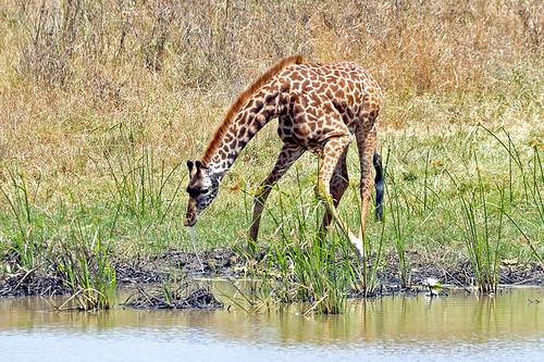 nairobi giraffe drinkingwater nairobinationalpark nairobikenya specanimal goldwildlife naturesgreenpeace mothernaturesgreenearth amazingwildlifephotography allofnatureswildlifelevel1 allofnatureswildlifelevel2 macswildpixels