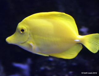 Yellow Tang ...... Thanks izzy