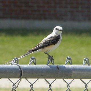 young scissortail flycatcher