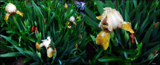 Golden Irises Dew Dip