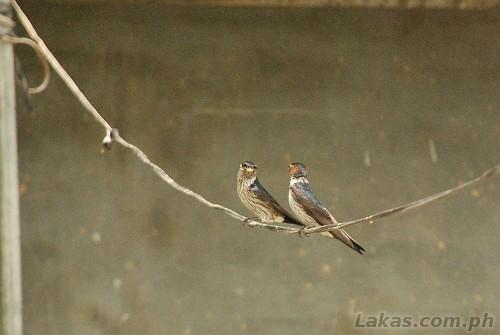 Wild birds near the native house of Sitio Awa, Barangay Abatan, Hungduan, Ifugao