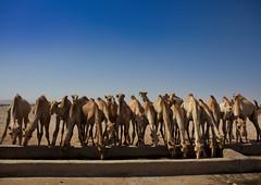 Berbera Camel Farm Camels Drinking In A Row Berbera Somaliland