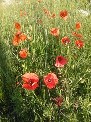 PAPAVER - Klatschmohn - corn poppy