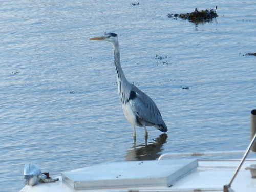 Venus Transit morning in Bray Harbour - heron