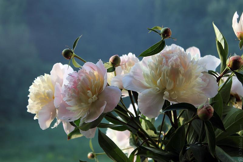Paeonia lactiflora 'Bowl of Beauty' — Пион молочноцветковый 'Bowl of Beauty'. Peony bouquet from my garden. Букет пионов.