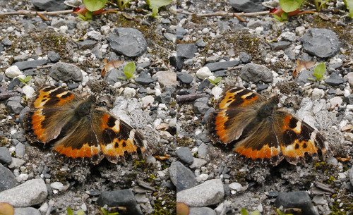 Aporia crataegi, stereo parallel view