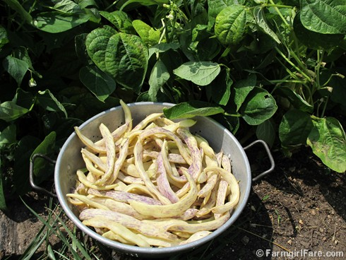 (3) Picking Dragon Tongue beans - FarmgirlFare.com