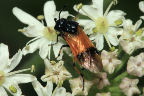 Arge cyanocrocea 8718