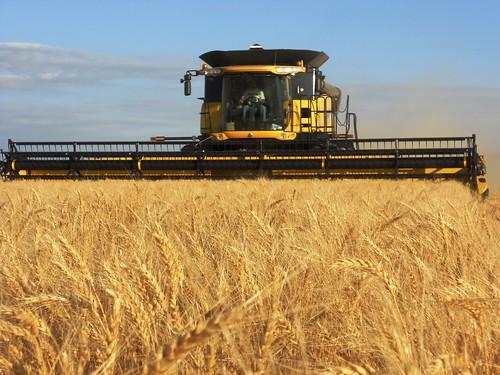 Full header of wheat