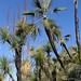 Palm and Yuccas - Palma y Yucas; al sur de Zapotitlán Palmas, Región Mixteca, Oaxaca, Mexico por Lon&Queta