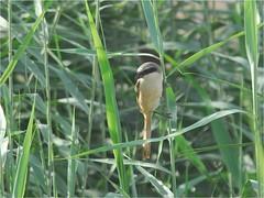 Long-tailed Shrike 4