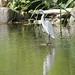Garza blanca / Snowy egret / Egretta thula