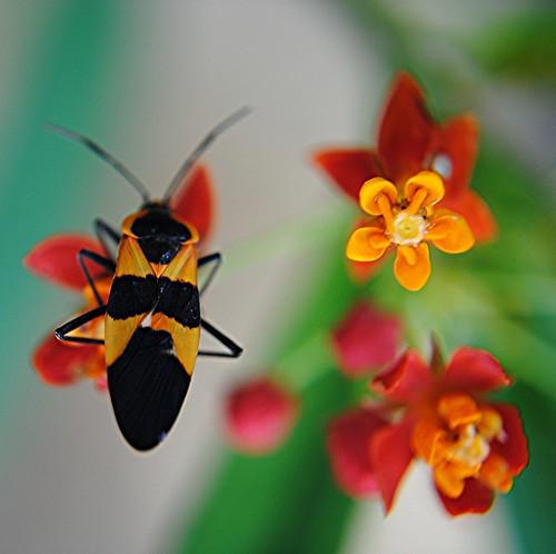 Elegant Seed Bug on red orange Milkweed by jungle mama