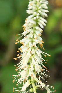 Culver's Root blossoms