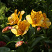 Alstroemeria (Peruvian Lily or Lily of the Incas) enjoy the sunshine