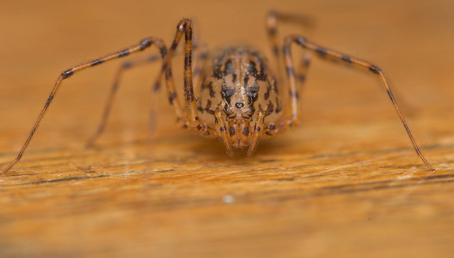 Spitting spider_-4