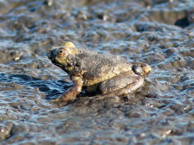 Muddy frog 20120717