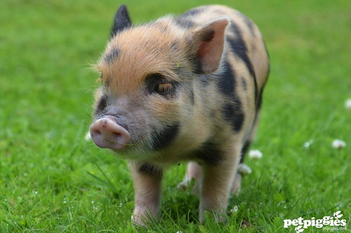 micro pig by petpiggies