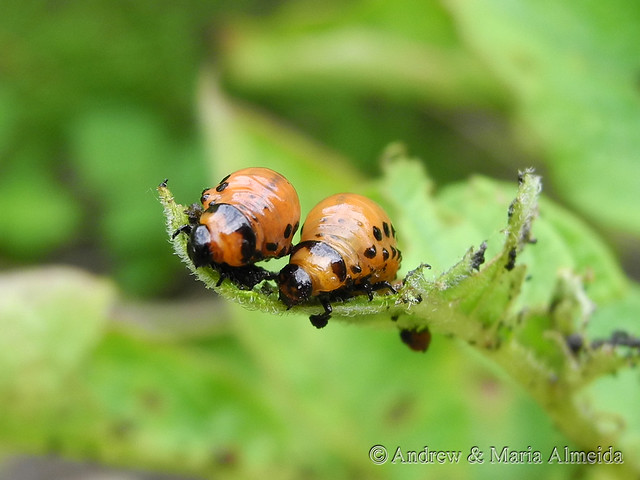 Colorado Potato Beetle Larvae   Flickr - Photo Sharing!