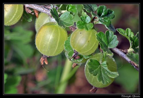 Groseilles à maquereau (Ribes grossularia)