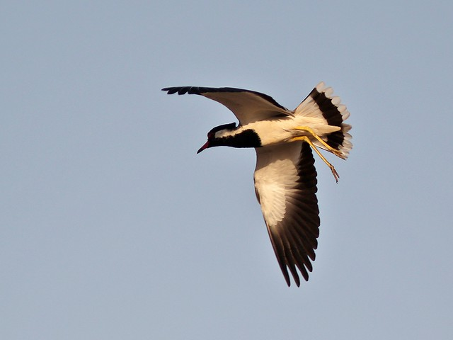 Red-Wattled Lapwing in flight