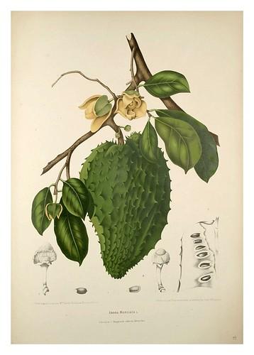 024-Fruto del arbol de la guanabana-Fleurs, fruits et feuillages choisis de l'ille de Java-1880- Berthe Hoola van Nooten
