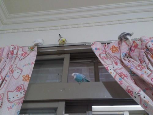 虎皮鳥寶們停在窗簾上面休息