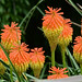 Red Hot Poker 'Border Ballet'