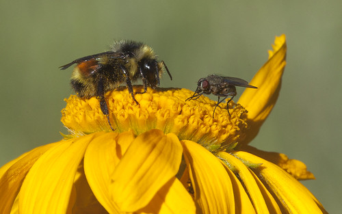 huntsbumblebee bumblebee sneezeweed uncompahgreplateau colorado pollinator bee fly earthnaturelife wondersofnature
