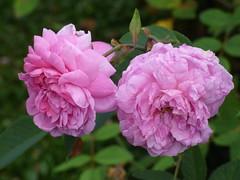 Hampton Court Castle Gardens & Parkland - the garden - flowers - pink roses